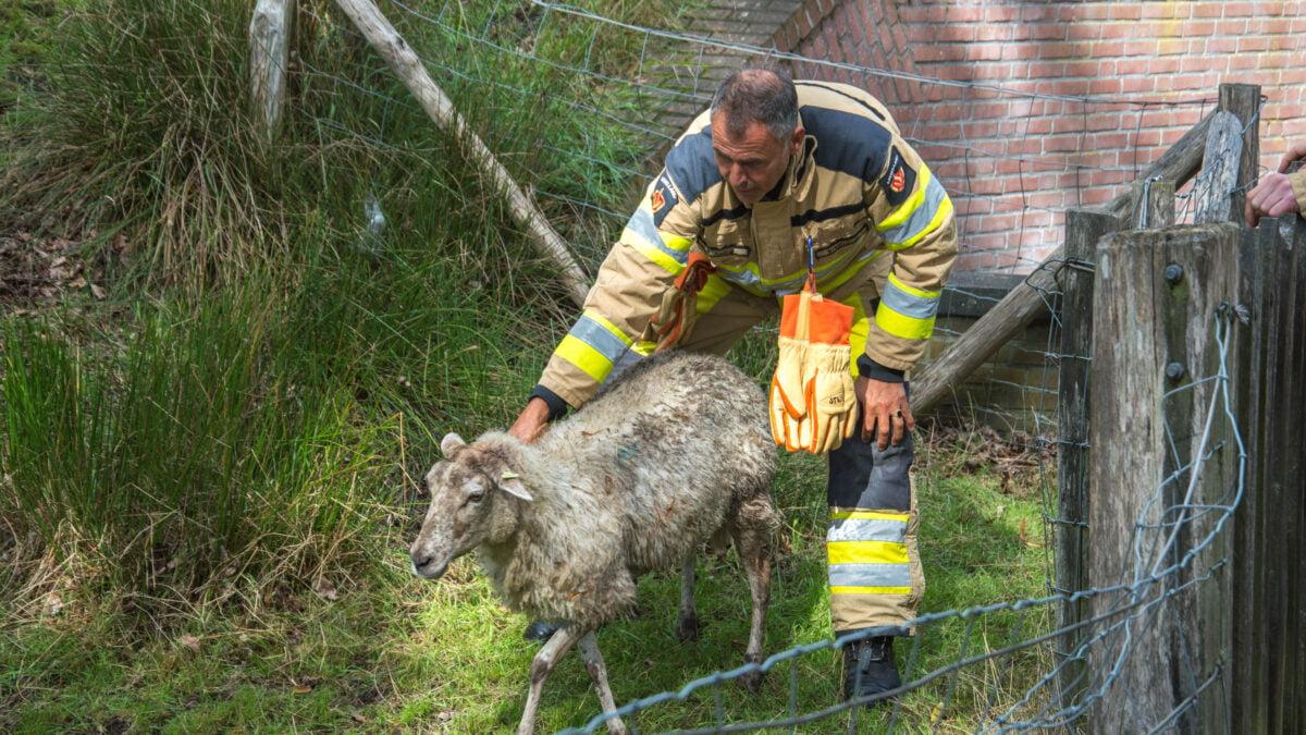 Brandweer redt schaap uit het water langs stadsgracht